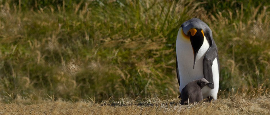 Pinguino rey con cria