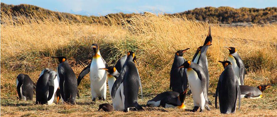 Muchos Pinguino Rey