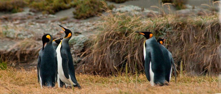 Pinguino Rey en Tierra del Fuego